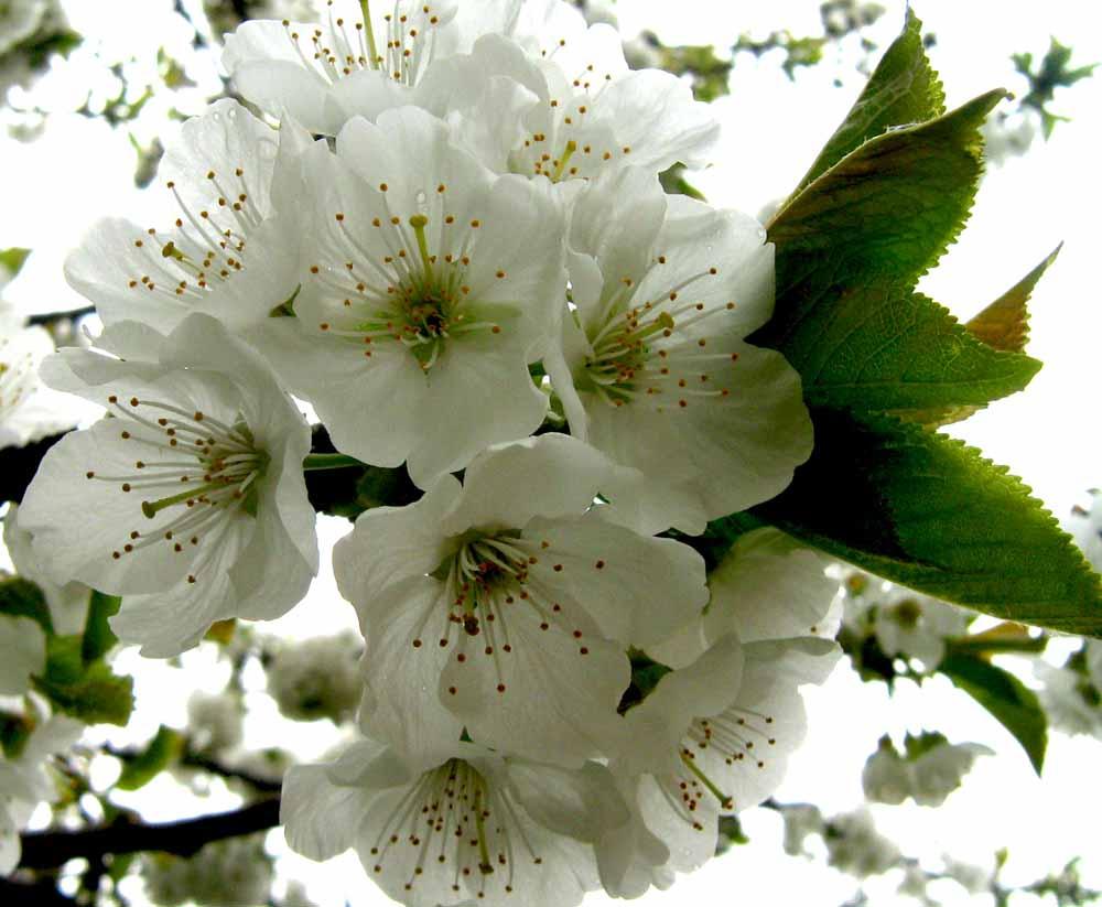 cseresznye virága