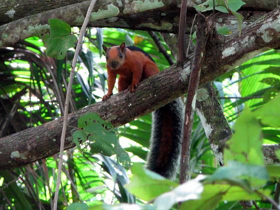 Aloiv: Sciurus variegatoides Costa Rica 2