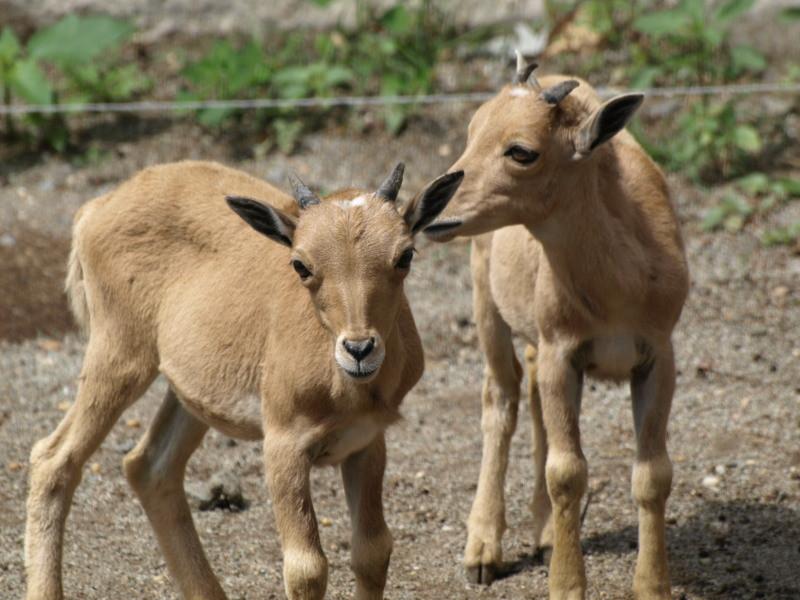a két kis kecske