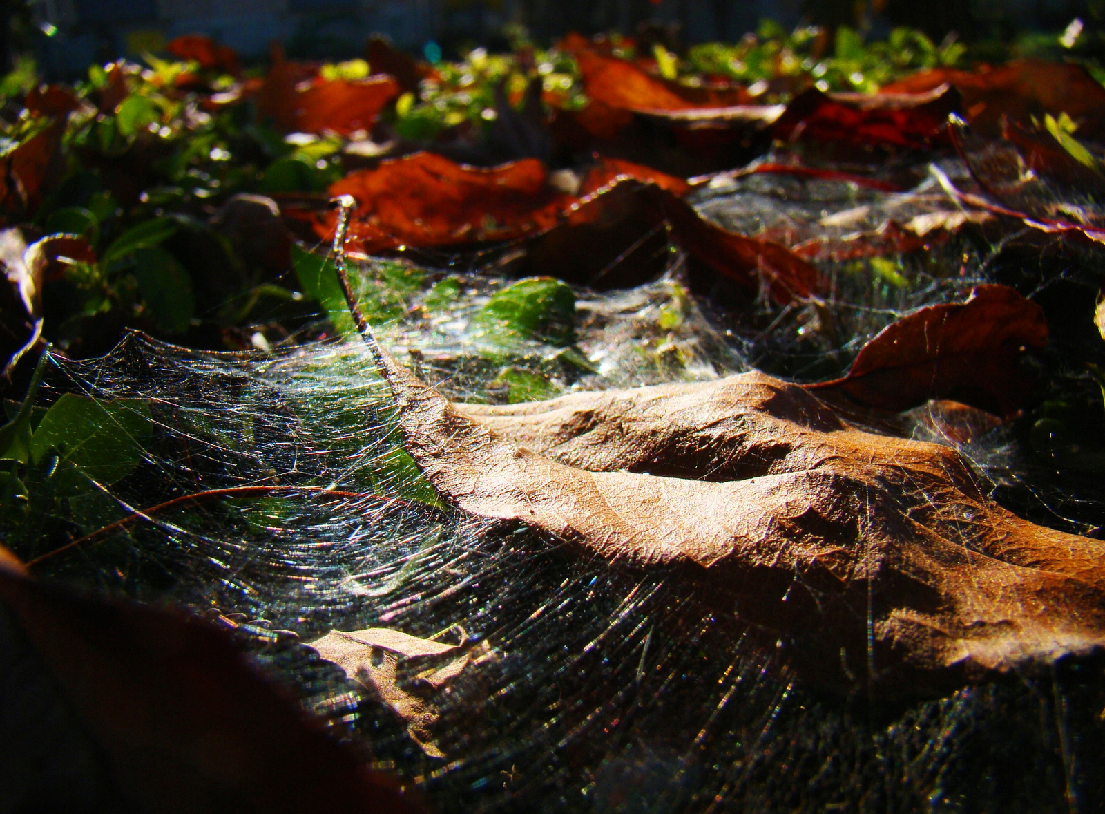 Pókhálós, őszes