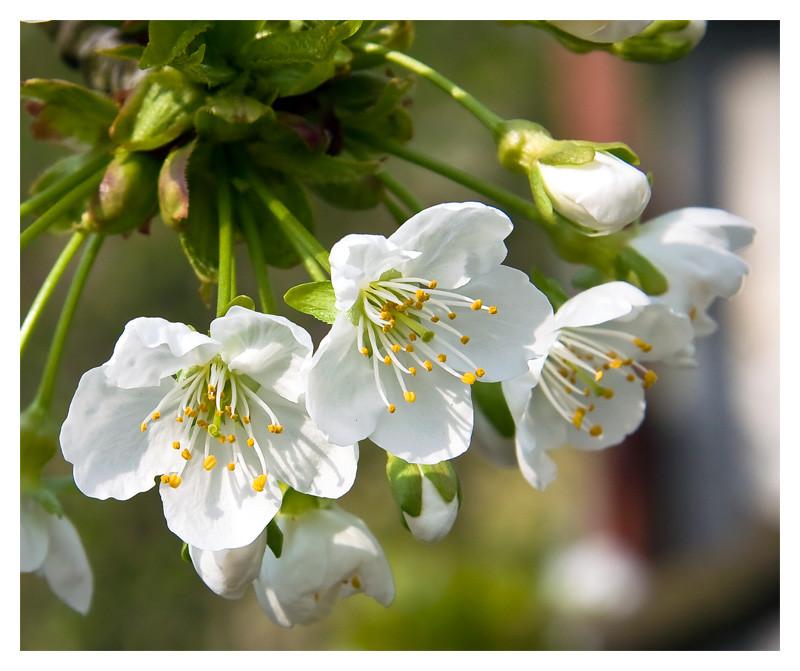Cseresznyevirág-csokor