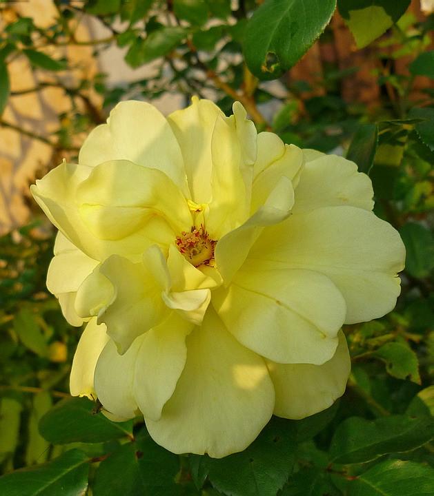 Rózsa 2.