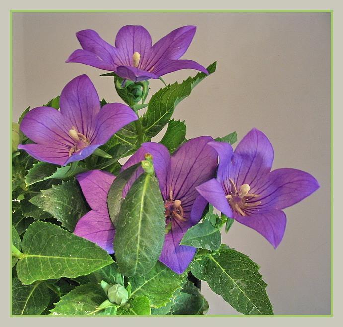Lufi virág